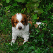 Welsh Springer spaniel puppies breeder
