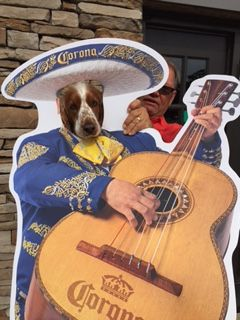 Oliver Welsh Springer celebrating Cinco de Mayo