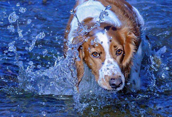 Welsh Springer water