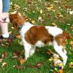 Welsh Springer spaniel puppy Riff