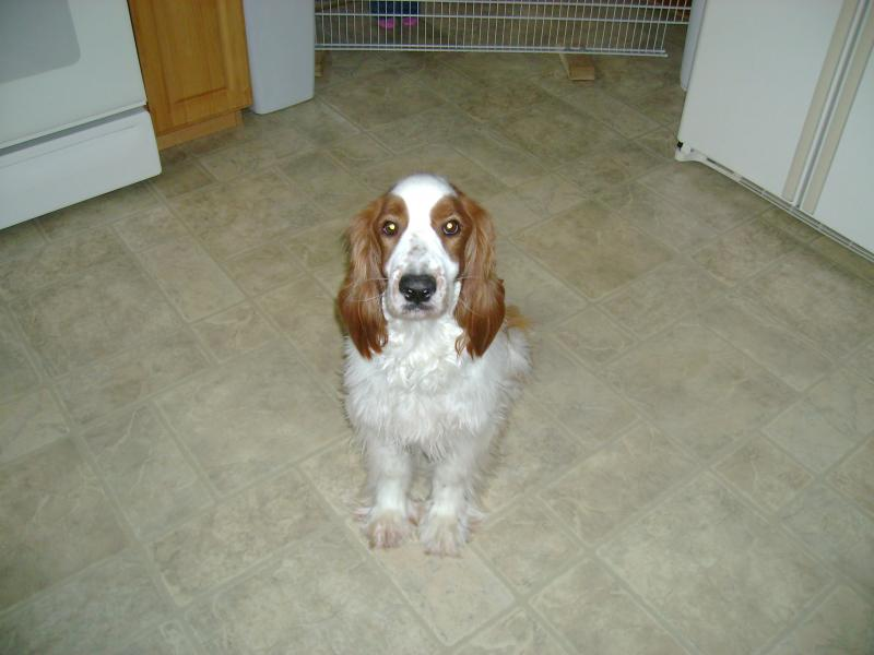 Welsh Springer Spaniel Archer rescue 2