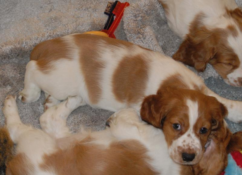 Montana Welsh Springer puppy
