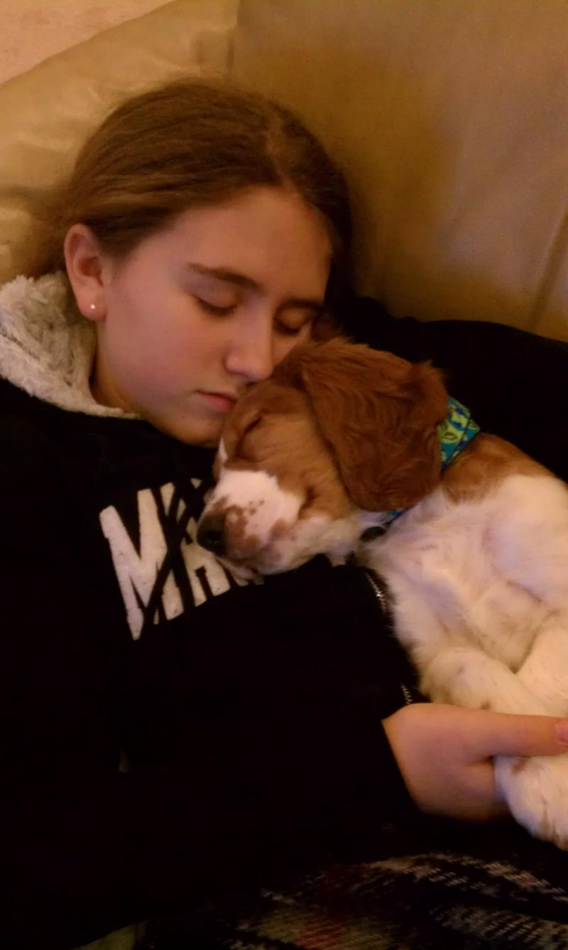 Welsh Springer Destiny's Sunshine Kisses