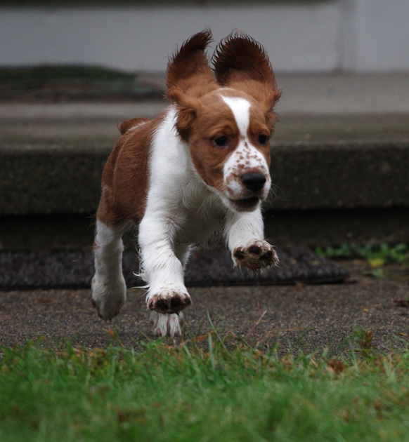 Welsh Springer Copper springing