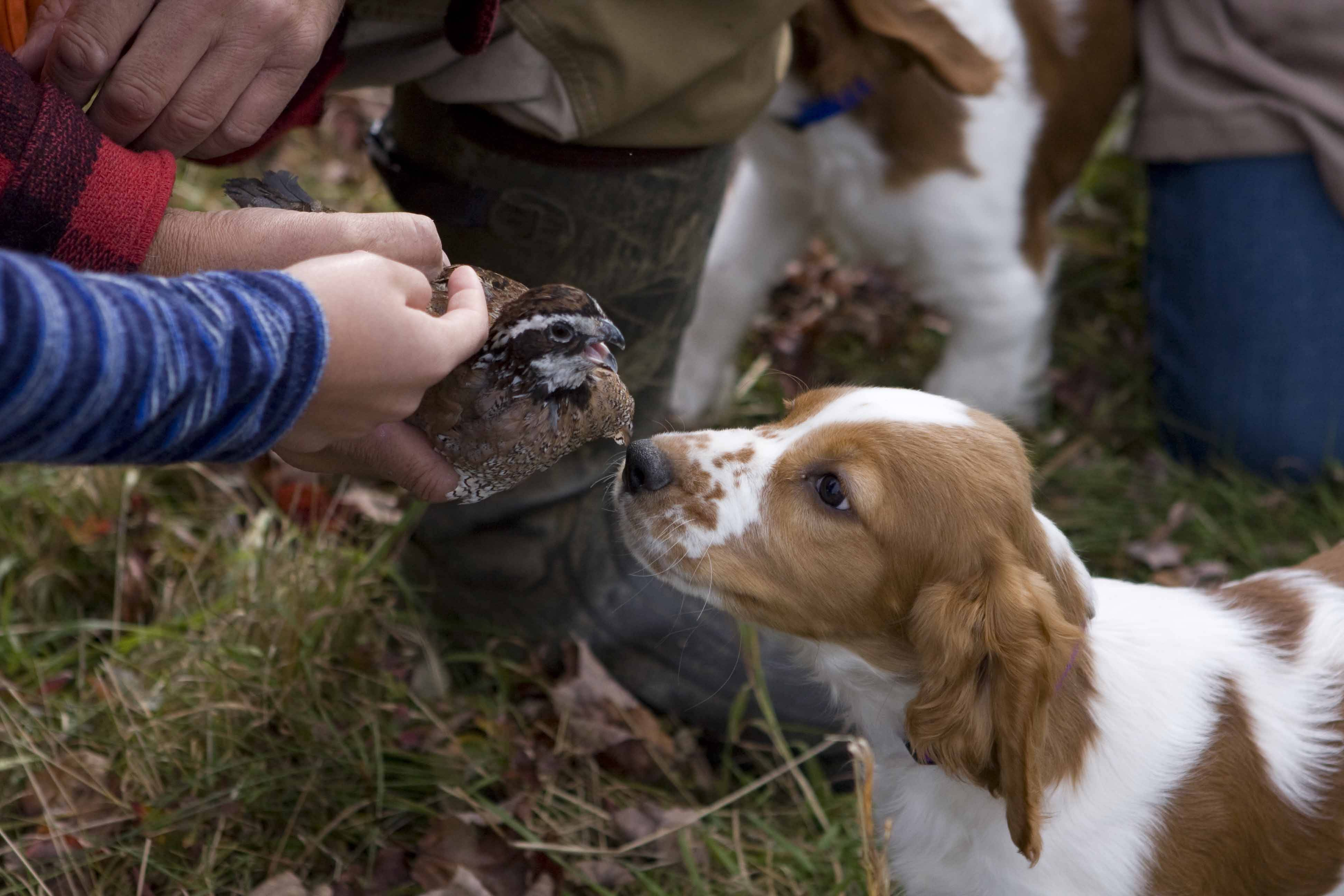 Holly meeting her first quail 10-08