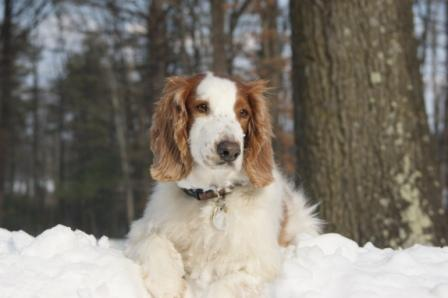 Welsh Springer Spaniel Meegan in snow 2011