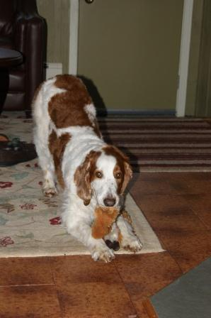 Welsh Springer Spaniel Meegan with toy