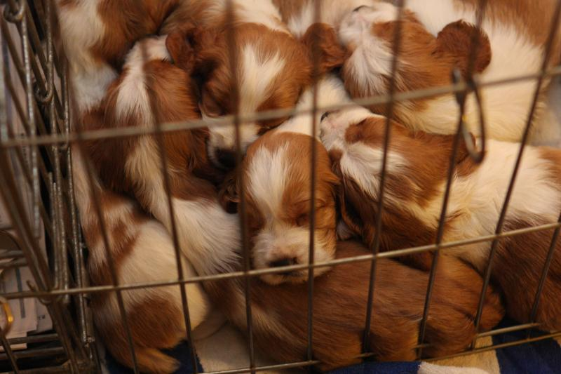 Welsh springer spaniel puppies sleeping