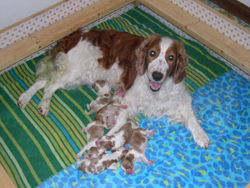 Welsh Springer mother and puppies