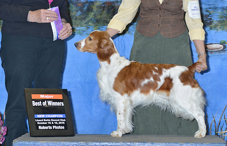 Destiny Welsh Springer spaniel new champion
