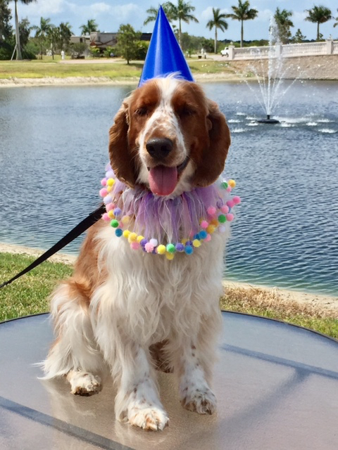 Welsh Springer Spaniel birthday pic