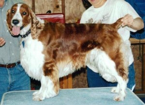 Destiny Welsh Springer Hamlet