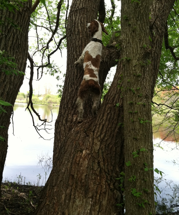 Welsh Springer Spaniel Remy in tree1
