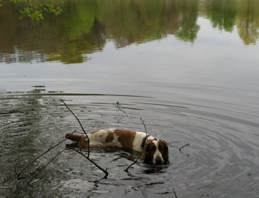 Welsh Springer Spaniel Remy swimming
