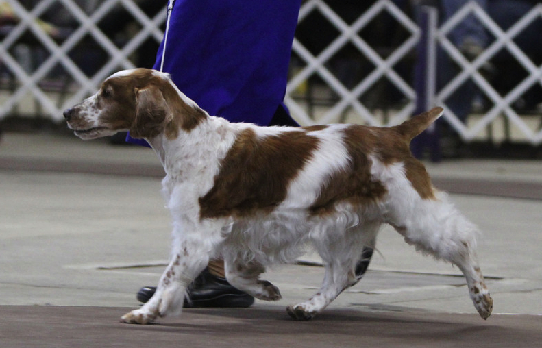 Welsh Springer Elena gaiting
