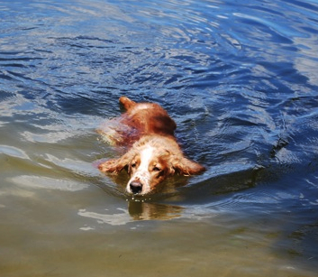 Welsh springer Emmy swimming 2011